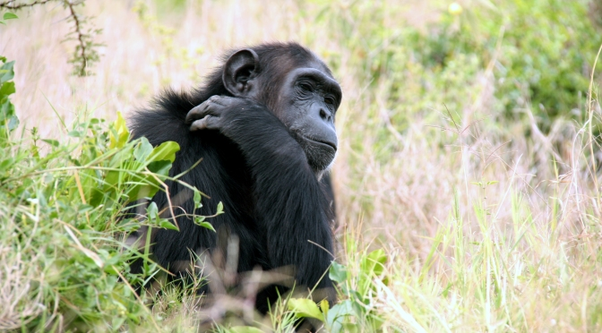 Trafficked apes strive to return to the wild